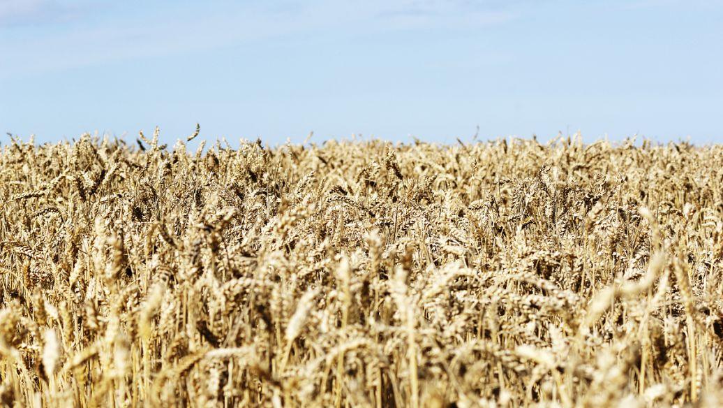 海城市西部沿河的农民们掀起了水稻育种的高潮