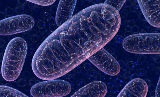新的分子工具可精确编辑线粒体DNA