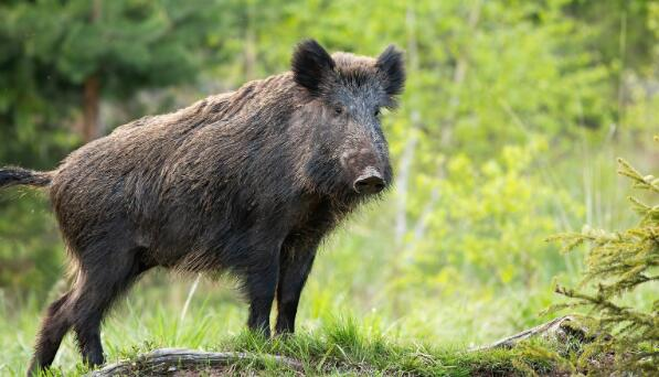 在欧洲最大的猪肉生产国德国拥有ASF之后 市场影响可能会很大